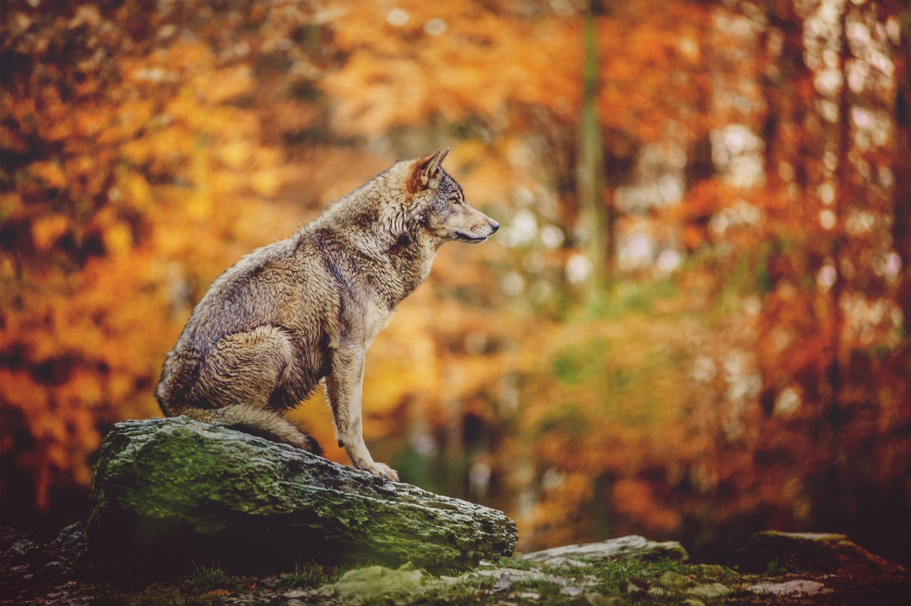 Image symbole : Un loup seul sur un rocher dans une forêt d'automne