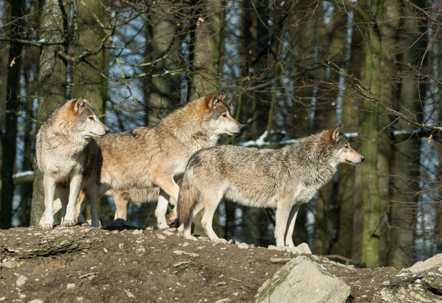 Image symbole : une meute de loups dans une forêt canadienne
