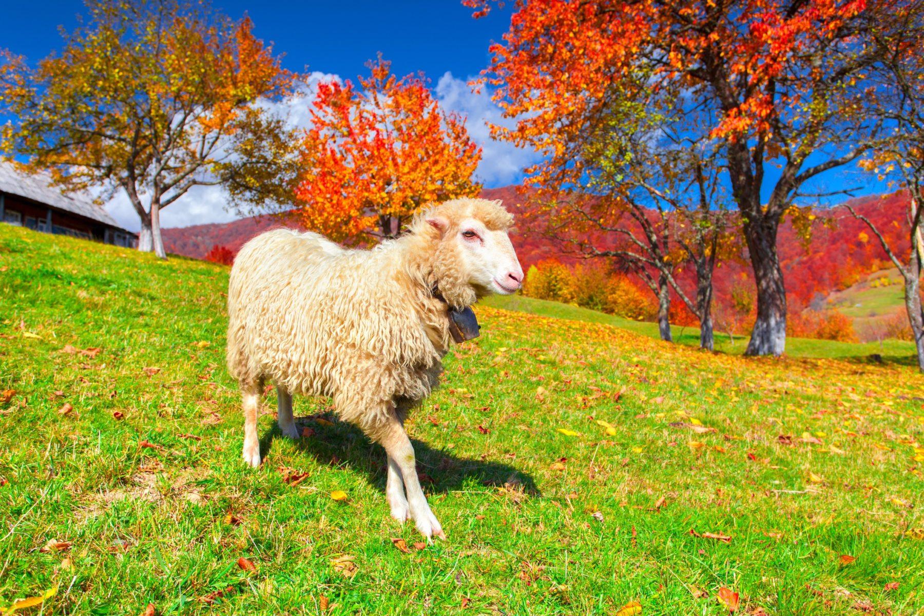 Image d'illustration : Un mouton dans une prairie avec des couleurs d'automne